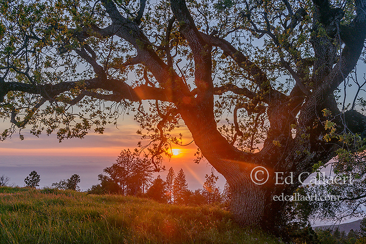 Sunset, California Live Oak, Los Padres National Forest, Big Sur, Monterey County, California