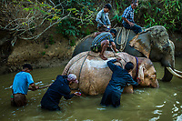 A team of mahouts with their trained elephants cleans the body of seven-year-old female 'white' calf Thirimarlar as part of her taming process, in the forests of Thalatkhwar Forest Reserve, Irrawaddy. She was captured in the area a few days ago.