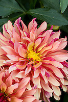 Dahlia flower in 'Gallery Art Deco' Tom Peace's Denver, Colorado Garden; plant collector, garden designer