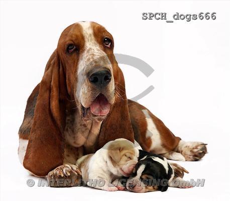 Xavier, ANIMALS, dogs, photos(SPCHdogs666,#A#) Hunde, perros