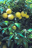 grapefruits on tree California