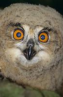 Uhu, Jungvogel, flügges Küken, Portrait, Bubo bubo, eagle owl