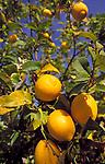 Spanien, Balearen, Ibiza (Eivissa): Zitronenbaum mit reifen Fruechten | Spain, Balearic Islands, Ibiza (Eivissa): lemontree with ripe fruit