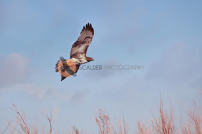 Ferruginous Hawk, LIght Morph in flight over a field in New Mexico