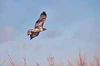 Ferruginous Hawk, LIght Morph in flight over a field in New Mexico