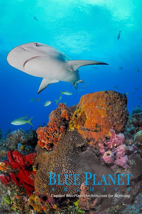 Gray reef shark, Carcharhinus perezii, swims over coral reef and sponges, Little Bahama Bank, Bahama Islands, Bahamas, Caribbean, Atlantic