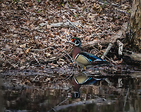 Male Wood Duck standing in a stream in the woods