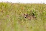 Bobcat (Lynx rufus), Point Reyes National Seashore, California