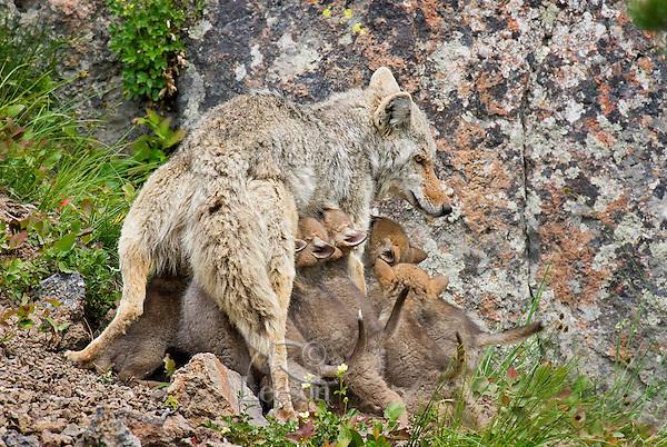 Wild Coyote (Canis latrans) nursing young pups.  Western U.S., June.