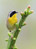 common yellowthroat, Geothlypis trichas, male, perched on tree, Nova Scotia, Canada