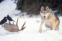 gray wolf, Canis lupus, with its prey, moose, Alces alces, leg with common raven birds, Corvus corax, in the foothills of the Takshanuk mountains, northern southeast, Alaska, USA
