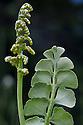 Moonwort (Botrychium lunaria), Nordtirol, Austrian Alps. July.