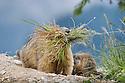 Alpine marmot (Marmota marmota) with bedding material. Austrian Alps, Austria, Nordtirol, 1700 metres altitude, June.