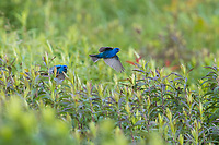 Indigo Bunting (Passerina cyanea), male chasing another male on its breeding plumage in Assunpink Wildlife Management Area, Allentown, New Jersey.