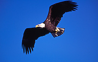 Bald Eagle ( Haliaeetus leucocephalus ) in flight, British Columbia, Canada.