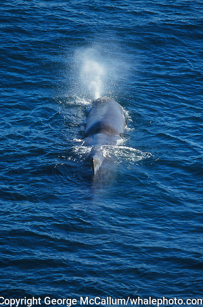 Sperm whale Physeter macrocephalus spouting on surface