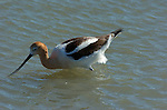 American Avocet, Breeding Plumage, Baylands Nature Reserve, Palo Alto Wetlands, California