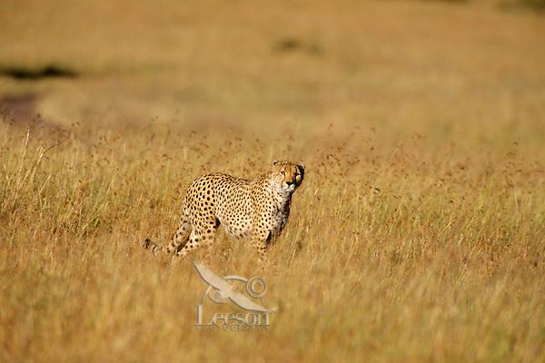 Cheetah (Acinonyx jubatus), Serengeti National Park, Tanzania, Africa.