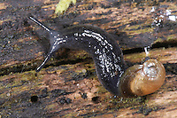 Rötliche Daudebardie, Daudebardia rufa, reddish daudebardi