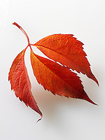 Fallen Autumn Leaf- Virginia Creeper - Brightly coloured laeves.