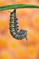 MONARCH BUTTERFLY life cycle..Fifth instar on Joe-Pye Weed leaf..North America. (Danaus plexippus)..