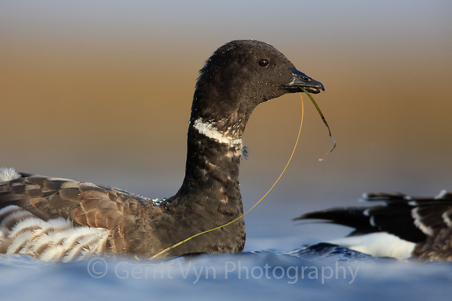 Brant foraging on aquatic eel grass in Izembek Lagoon, Alaska. Izembek Lagoon holds some of the largest eelgrass beds in the world and is critically important to  migratory birds, especailly Brant. Virtually the entire world population of Pacific Black Brant use the lagoon each fall to feed adn fatten up for their 3000 mile, nonstop migration to the west coast of North America and Mexico.