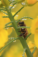 A bee is foraging water in the early morning.