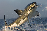 great white shark breaching, Carcharodon carcharias, False Bay, South Africa