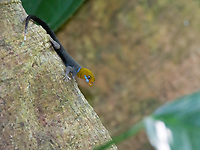 The yellow-headed gecko is a colorful lizard active during the day.