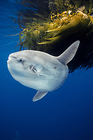 Ocean sunfish referencing drift kelp, open ocean near San Diego, Mola mola, California, East Pacific Ocean, USA