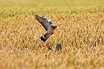 """Foto: VidiPhoto<br /> <br /> ELST – Duiven doen zich donderdag massaal tegoed aan de rijpende wintertarwe op akkers in de buurt van Elst (Overbetuwe). De 'vliegende ratten' verlaten zo rond de eerste week van juli het stedelijke gebied van Arnhem en Nijmegen, om zich vervolgens massaal vol te vreten aan de lekkernijen in de Betuwe als tarwe en graszaad. Boeren en jagers verwachten dit jaar meer overlast dan ooit vanwege de gunstige broedomstandigheden dit voorjaar. Jonge duiven vliegen nu al en er zijn ook 15 procent meer eieren uitgebroed dan andere jaren. Boeren krijgen geen vergoeding voor schade door deze vogels omdat duiven een zogenoemde """"landelijke vrijstelling"""" kennen. Dat betekent dat er onbeperkt en het hele jaar door op gejaagd mag worden. Akkerbouwers moeten daarom zelf jagers 'inhuren' om hun tarwevelden 'schoon' te houden. Jaarlijks worden er honderdduizenden duiven geschoten. Vanuit Frankrijk en België is veel vraag naar duivenvlees."""