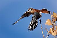 American Kestrel initiating flight, Falco sparverius