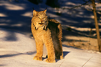 Lynx or Canadian Lynx (Lynx canadensis)