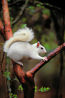 Eastern Gray Squirrel (Sciurus carolinensis) ranges from Northern Florida to Canada, from the Atlantic Coast to where the prairies begin. White Phase exists largely in Illinois, where it is protected.