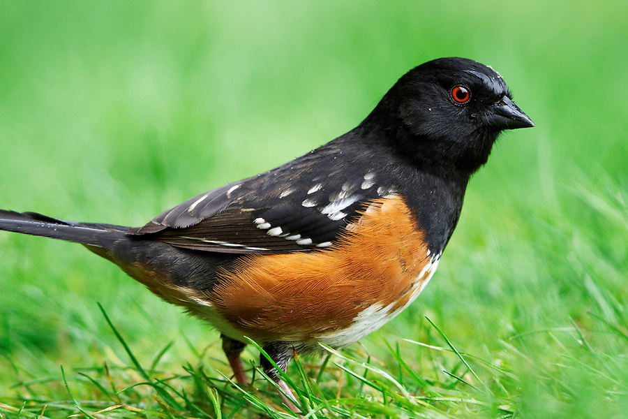 Male spotted towhee standing in lawn grass, Snohomish, Washington, USA