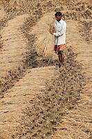 INDIA West Bengal, dalit farmer harvest rice / INDIEN Westbengalen , Dalit Bauer bei Reisernte