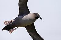 Light-mantled Albatross (Phoebetria palpebrata), with leg band in flight near Macquarie Island Station, Macquarie Island, Australia.