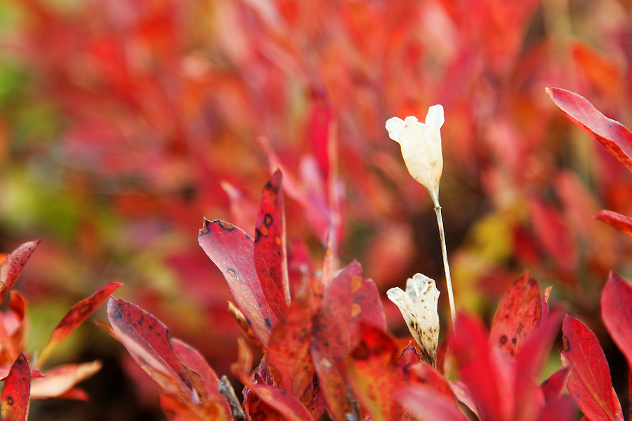 Mountain huckleberry, subalpine meadow, Paradise Meadows, Mount Rainier National Park, Washington, USA
