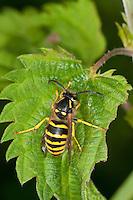 Waldwespe, Wald-Wespe, Königin, Wespe, Dolichovespula sylvestris, Tree wasp, tree-wasp
