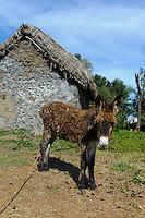 Esel bei Lagoa, Santo Antao, Kapverden, Afrika