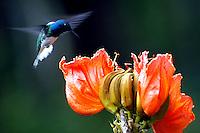 CALI-COLOMBIA-21-06-2006.Colibri es un género de aves apodiformes pertenecientes a la subfamilia de los troquilinos (Trochilinae) y llamadas comúnmente colibríes. Son pequeñas aves nativas de América Central y la parte norte de Sudamérica. Hummingbird is a genus of birds belonging to the subfamily Apodiformes of troquilinos (Trochilinae) and commonly called hummingbirds. They are small birds native to Central America and northern South America. (Photo: VizzorImage/Luis Ramirez).                               Colibri es un género de aves apodiformes pertenecientes a la subfamilia de los troquilinos (Trochilinae) y llamadas comúnmente colibríes. Son pequeñas aves nativas de América Central y la parte norte de Sudamérica. (Foto VizzorImage/Luis Ramirez). Hummingbird is a genus of birds belonging to the subfamily Apodiformes of troquilinos (Trochilinae) and commonly called hummingbirds. They are small birds native to Central America and northern South America. Photo: VizzorImage /Luis Ramirez / Staff