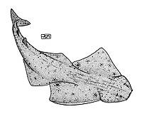 Pacific Ocean angelshark, Squatina californica, swimming, pen and ink illustration.
