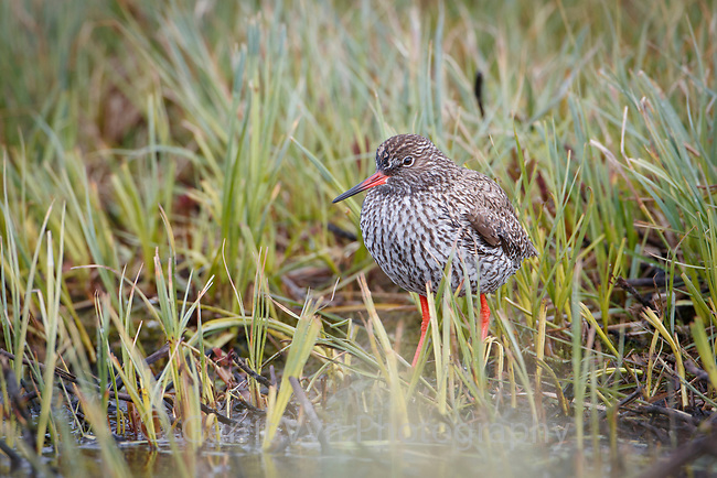 Common Redshank (Tringa totanus). Varanger Peninsula, Norway. June.