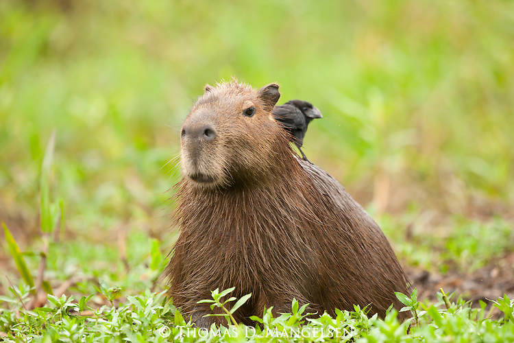 A bird perches on the back of a capybara in the Pantanal, Mato Grosso, Brazil.