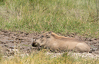 Central African Warthog, Phacochoerus africanus massaicus, cools off by wallowing in a mudhole in Ngorongoro Crater, Ngorongoro Conservation Area, Tanzania