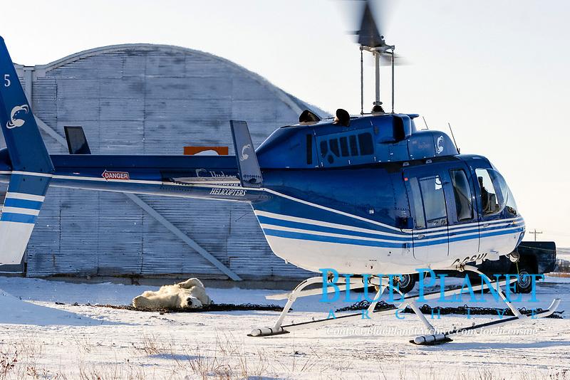 Adult Polar Bear (Ursus maritimus) preparing to be transferred via helicopter from the 'Bear Jail' outside Churchill, Manitoba, Canada., polar bear, Ursus maritimus