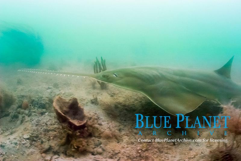 smalltooth sawfish or wide sawfish, Pristis pectinata (Endangered) Everglades National Park, Florida Gulf of Mexico (do)