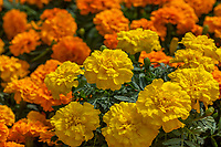 Marigolds, -Endurance™ Yellow Tagetes triploid; Syngenta Flowers