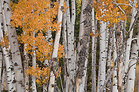 """An aspen grove in the Lizard Creek area of Grand Teton National Park, Wyoming.  Aspens spread by shoots from their """"mother"""" tree. Large groves are entirely interconnected."""