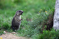 Junges Murmeltier - Young Marmot